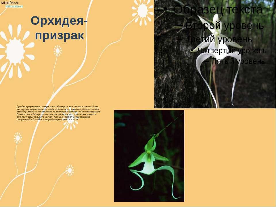 Орхидея-призрак Орхидея-призрак очень интересное и редкое растение. На протяж...