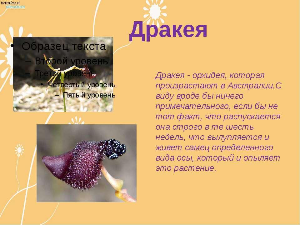 Дракея Дракея - орхидея, которая произрастают в Австралии.С виду вроде бы нич...