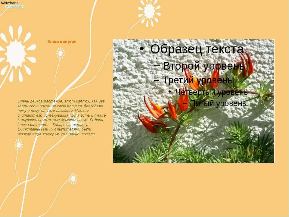 Клюв попугая Очень редкое растение, этот цветок, как две капли воды похож на ...
