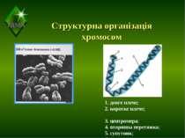 Структурна організація хромосом 1. довге плече; 2. коротке плече; 3. центроме...