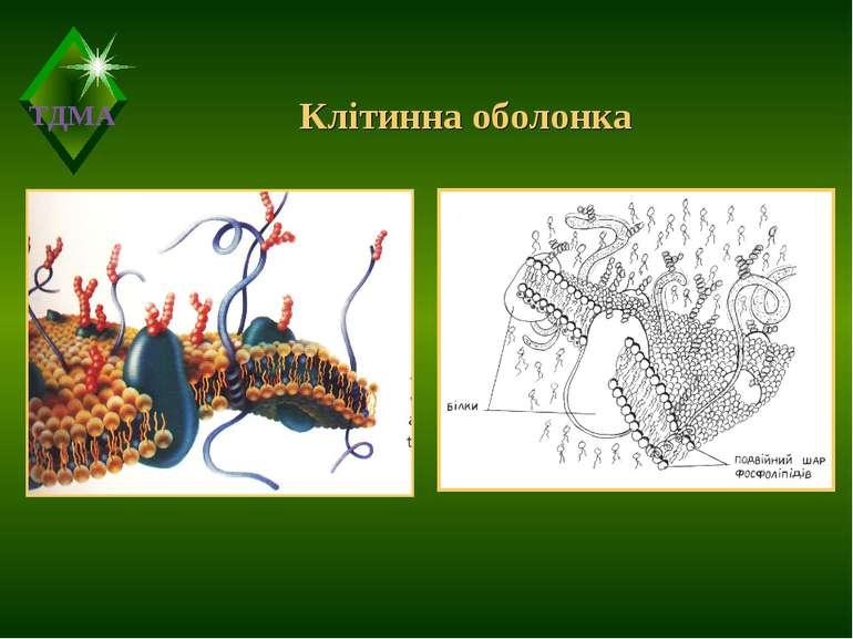 Клітинна оболонка ТДМА