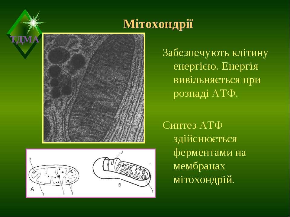 Мітохондрії Забезпечують клітину енергією. Енергія вивільняється при розпаді ...