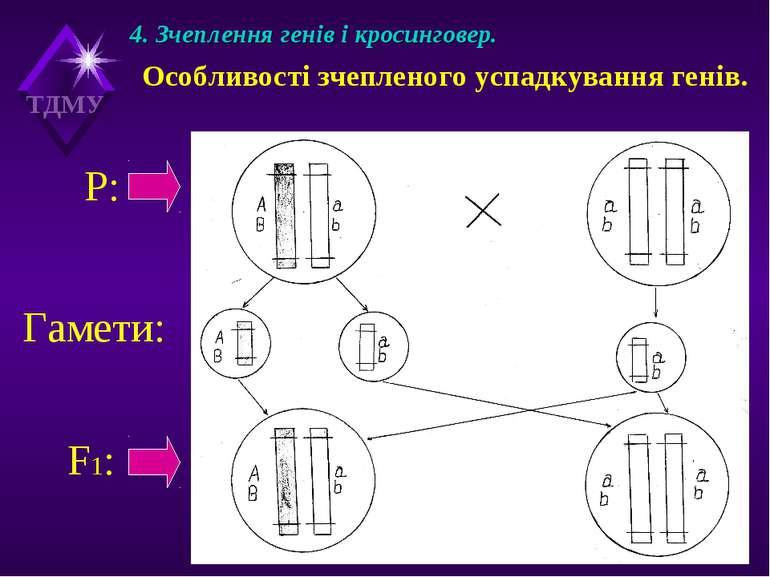 4. Зчеплення генів і кросинговер. Особливості зчепленого успадкування генів. ...