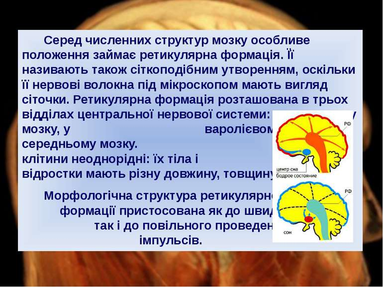 Серед численних структур мозку особливе положення займає ретикулярна формація...