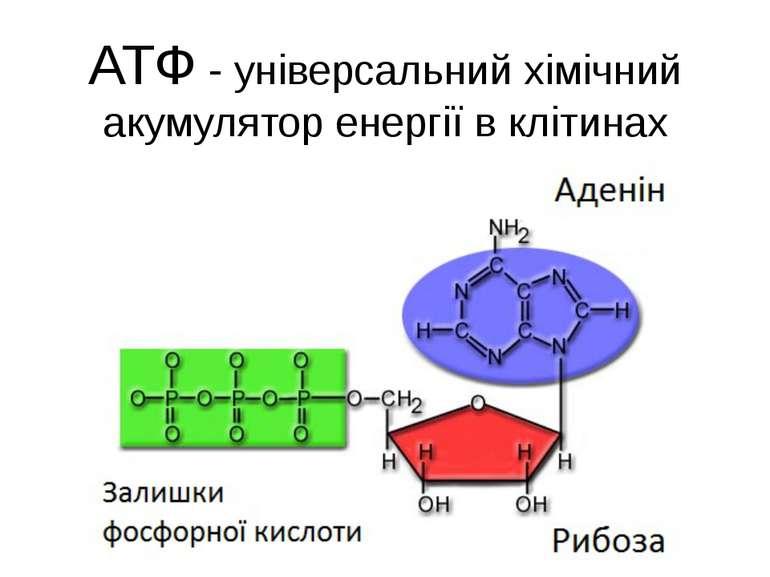 АТФ - універсальний хімічний акумулятор енергії в клітинах
