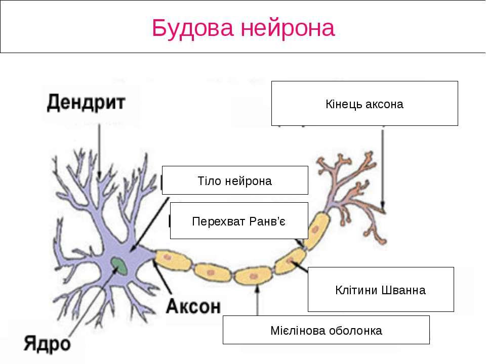 Будова нейрона Кінець аксона Клітини Шванна Мієлінова оболонка Перехват Ранв'...