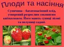 Суничина – багатонасінний плід, утворений розрослим соковитим квітколожем. Йо...