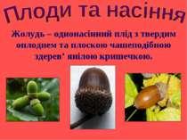 Жолудь – однонасінний плід з твердим оплоднем та плоскою чашеподібною здерев'...