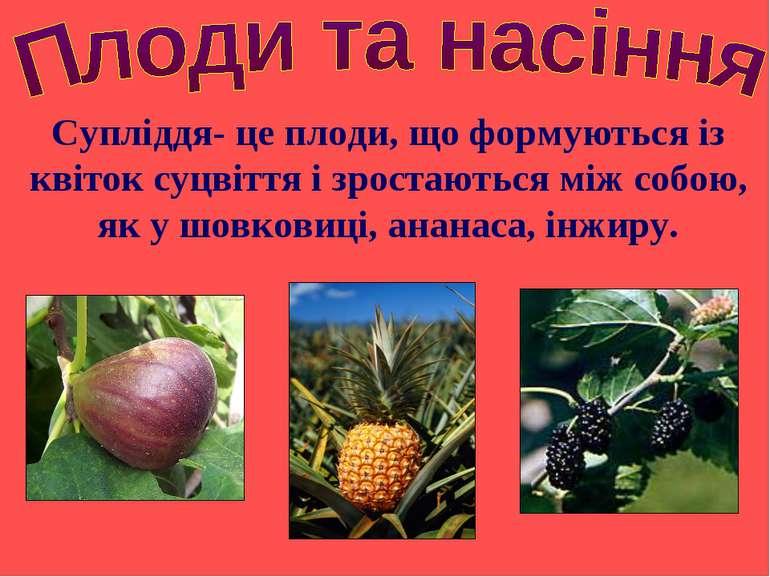 Супліддя- це плоди, що формуються із квіток суцвіття і зростаються між собою,...