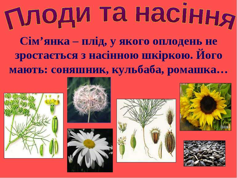 Сім'янка – плід, у якого оплодень не зростається з насінною шкіркою. Його маю...