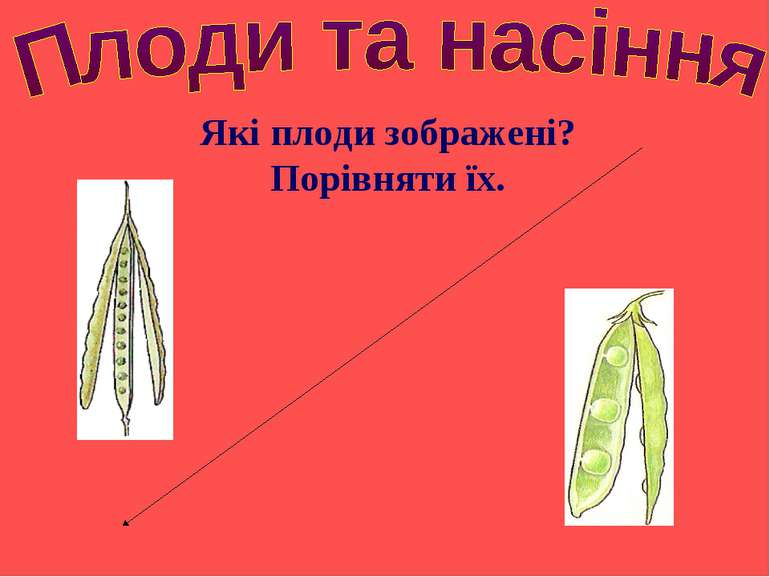 Які плоди зображені? Порівняти їх.