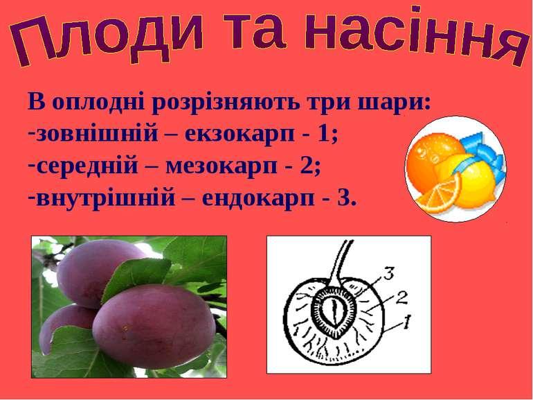 В оплодні розрізняють три шари: зовнішній – екзокарп - 1; середній – мезокарп...