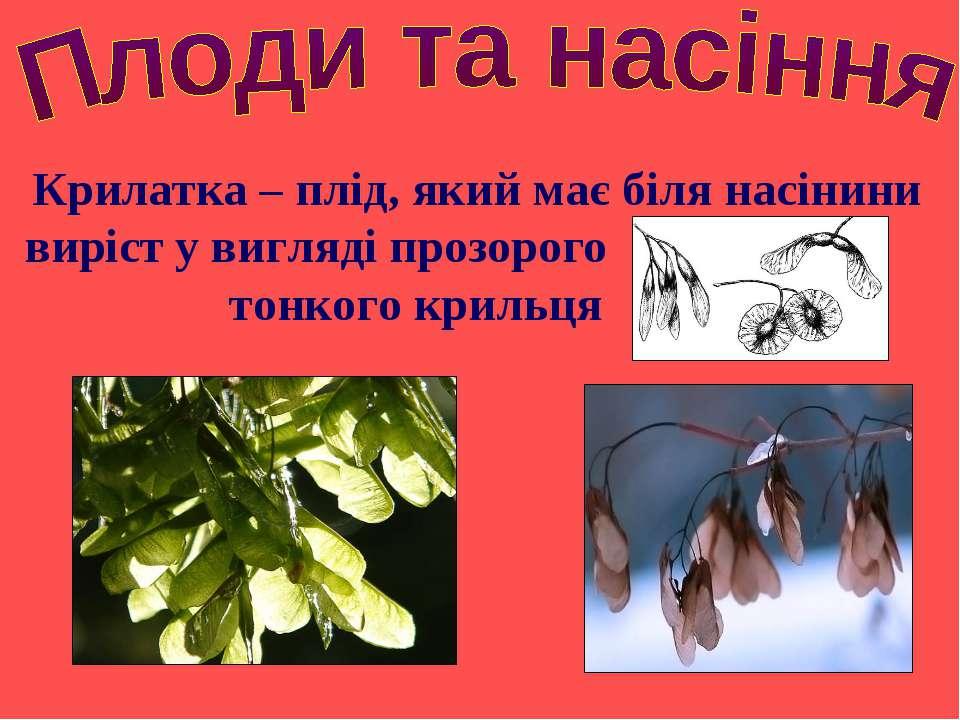 Крилатка – плід, який має біля насінини виріст у вигляді прозорого тонкого кр...