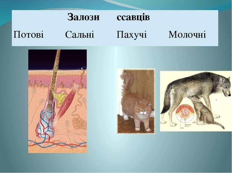 Залози ссавців  Потові Сальні Пахучі Молочні