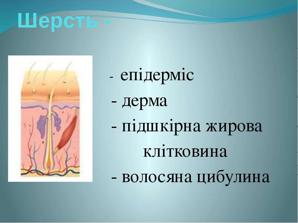 Шерсть - - епідерміс - дерма - підшкірна жирова клітковина - волосяна цибулина
