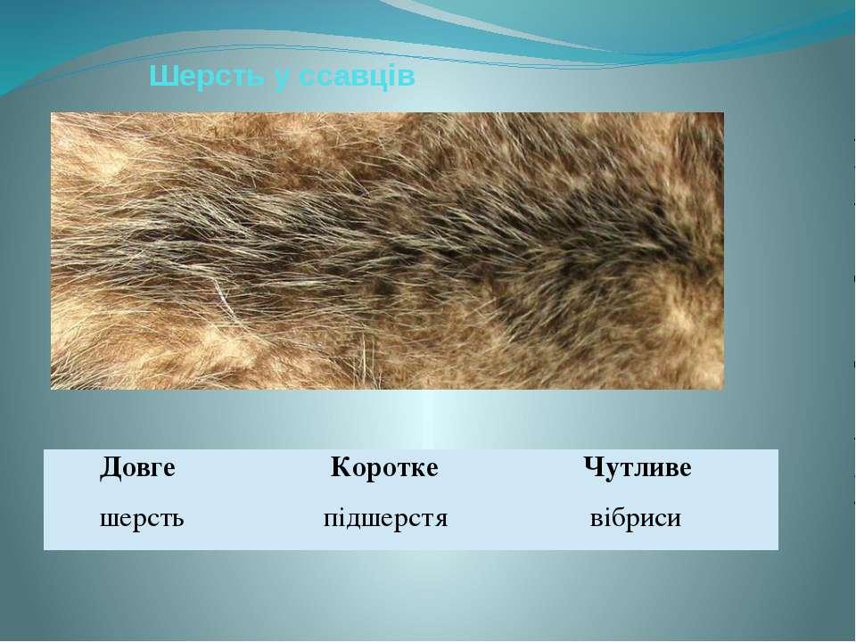 Шерсть у ссавців Довге Коротке Чутливе шерсть підшерстя вібриси