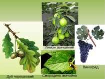 Дуб черешковий Лимон звичайний Смородина звичайна Виноград