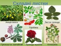 Складні листки Акація жовта Горобина Листок троянди Гіркокаштан звичайний Тро...