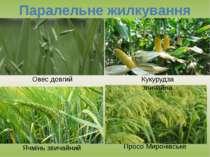 Паралельне жилкування Овес довгий Кукурудза звичайна Просо Миронівське Ячмінь...
