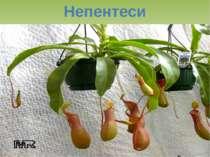Непентеси
