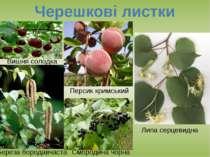 Черешкові листки Вишня солодка Персик кримський Липа серцевидна Береза борода...