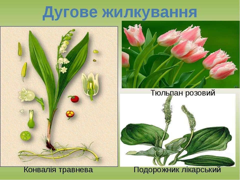 Дугове жилкування Конвалія травнева Подорожник лікарський Тюльпан розовий