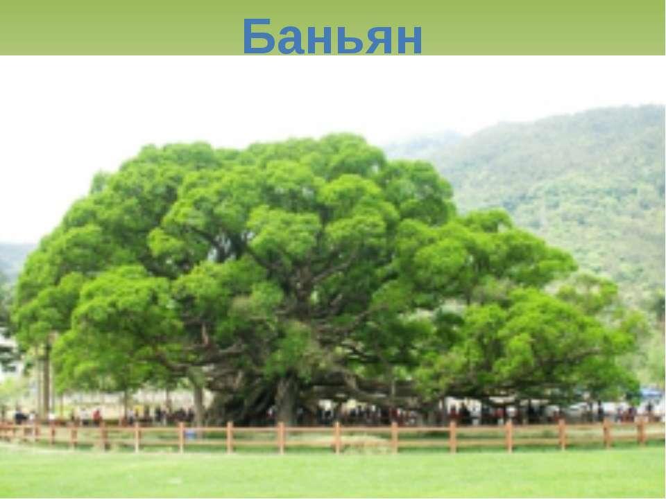 Баньян