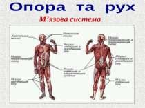 М'язова система