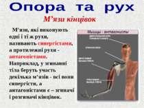 М'язи, які виконують одні і ті ж рухи, називають синергістами, а протилежні р...