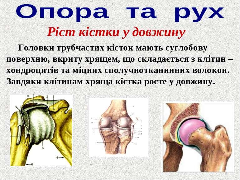 Ріст кістки у довжину Головки трубчастих кісток мають суглобову поверхню, вкр...