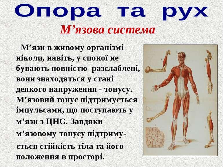 М'язи в живому організмі ніколи, навіть, у спокої не бувають повністю разслаб...