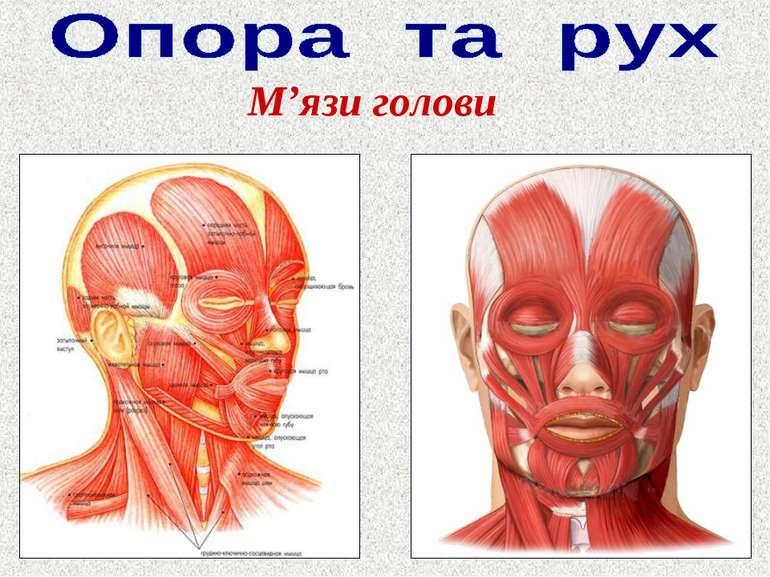 М'язи голови