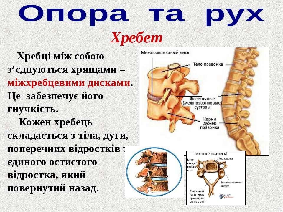 Хребет Хребці між собою з'єднуються хрящами – міжхребцевими дисками. Це забез...
