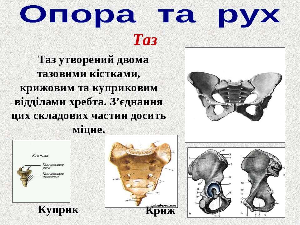 Таз Таз утворений двома тазовими кістками, крижовим та куприковим відділами х...