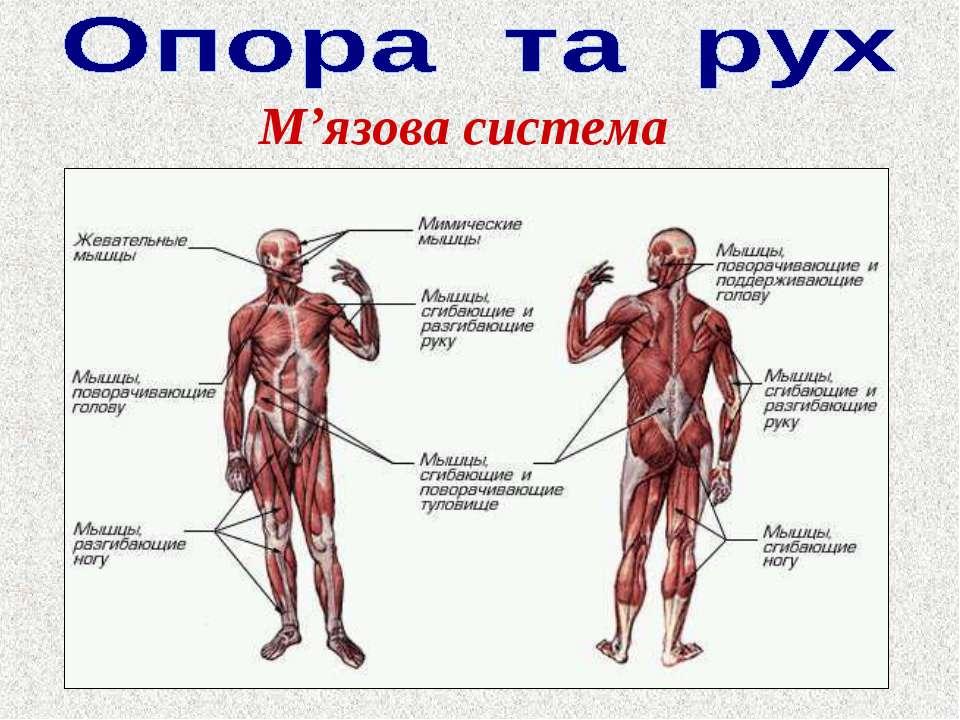 Реферат мышечная система человека