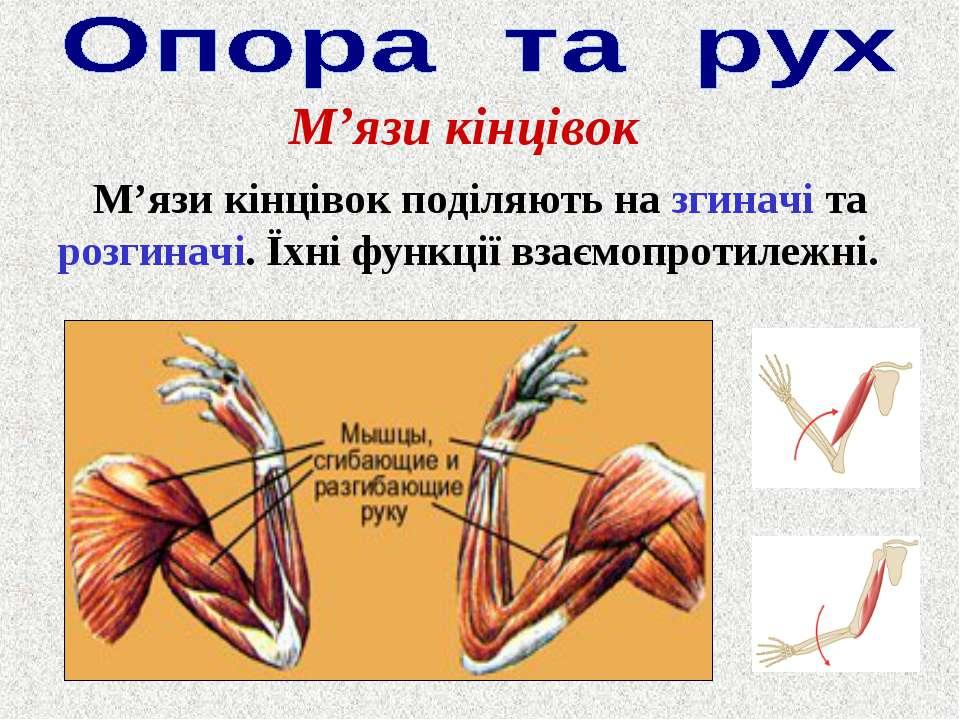 М'язи кінцівок М'язи кінцівок поділяють на згиначі та розгиначі. Їхні функції...