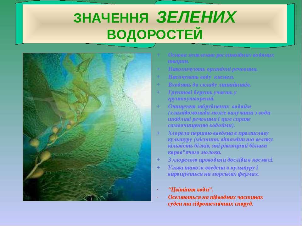 ЗНАЧЕННЯ ЗЕЛЕНИХ ВОДОРОСТЕЙ + Основа живлення рослиноїдних водяних тварин. + ...