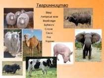 Тваринництво Корови Ангорські кози Вівці Верблюди Буйволи Слони Свині Яки