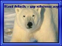 Білий ведмідь – цар північних морів