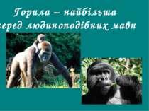 Горила – найбільша серед людиноподібних мавп Гришельова Т.І.,учитель географі...