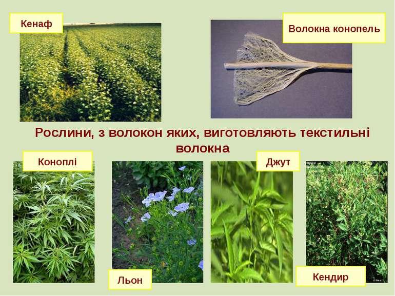 Рослини, з волокон яких, виготовляють текстильні волокна Рослини, з волокон я...