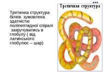 Третинна структура білків зумовлена здатністю поліпептидної спіралі закручув...