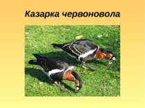 Казарка червоновола