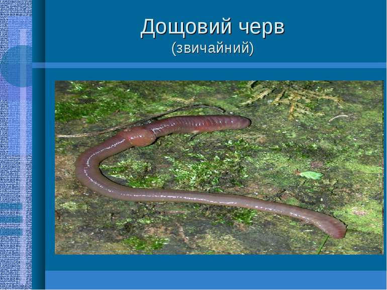 Дощовий черв (звичайний)