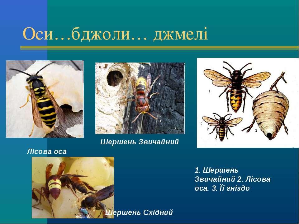 Оси…бджоли… джмелі 1. Шершень Звичайний 2. Лісова оса. 3. Її гніздо  Лісова ...