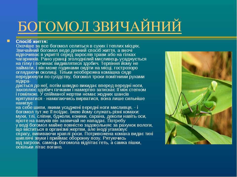БОГОМОЛ ЗВИЧАЙНИЙ Спосіб життя: Охочіше за все богомол селиться в сухих і теп...