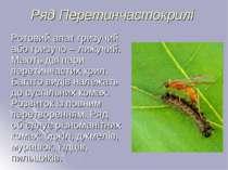 Ряд Перетинчастокрилі Ротовий апат гризучий або гризучо – лижучий. Мають дві ...