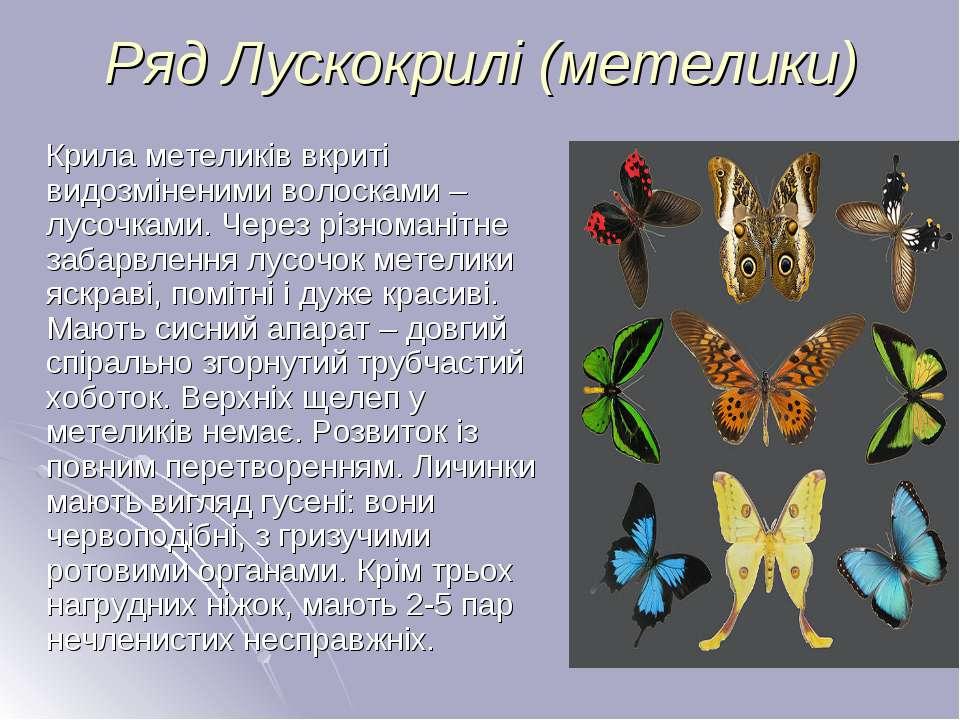 Ряд Лускокрилі (метелики) Крила метеликів вкриті видозміненими волосками – лу...