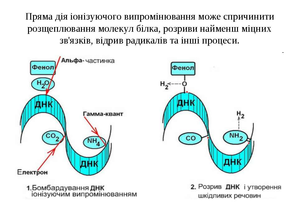 Пряма дія іонізуючого випромінювання може спричинити розщеплювання молекул бі...