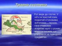 Травна система Рот веде до глотки. У ній є м`язистий язик, покритий хітиновим...